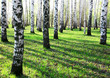 Sunny spring birches
