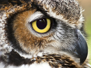 Great Horned Owl Closeup Side View