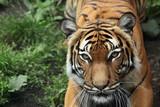 Fototapety Malayan tiger (Panthera tigris jacksoni).