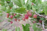 Ripe cultivar gooseberry (Ribes uva-crispa) berries in the summer garden poster
