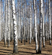 Spring sunny birch grove on blue sky