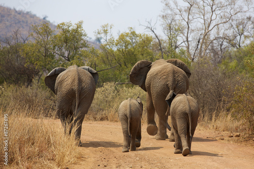 Fototapety, obrazy : African elephants walking away
