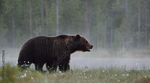 Brown bear in the misty bog - 87270654