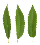 Chestnut leaves isolated on white background