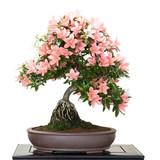 crassula als bonsai stockfotos und lizenzfreie bilder auf bild 25761900. Black Bedroom Furniture Sets. Home Design Ideas