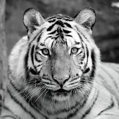 black and white tiger © piyagoon