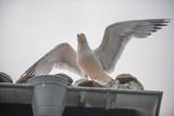 Gull (mew, seagull) on the roof in Nesebar, Bulgaria  poster