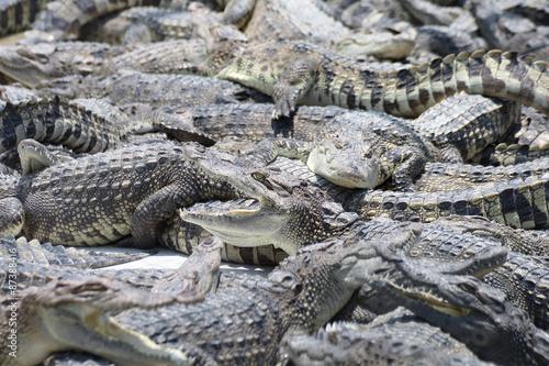 Foto op Plexiglas Krokodil Many a crocodiles