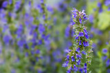 Fototapety Hyssop flowers in the herb garden, blurred background
