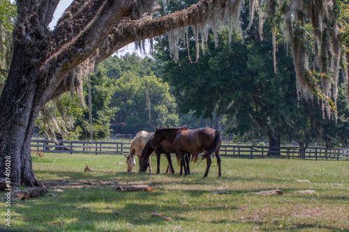 Three horses in a pasture with live oak tree and draping Spanish moss