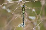 Dragonfly Migrant Hawker (Aeshna mixta  poster