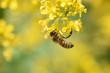 Постер, плакат: ape api ape su fiore insetto insetti miele