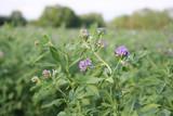 campo di erba medica in fiore