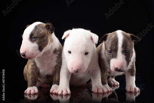 Poster three Bull Terrier puppies with black