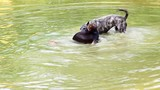 Two hyper energetic dogs swim and playing in a pond poster