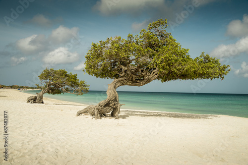 Poster Divi divi trees on Eagle beach - Aruba island