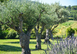 Fototapety Row of olive trees and lavender flowers
