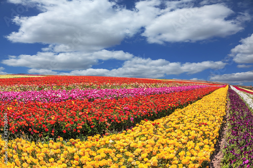 Deurstickers Ballon Sunny south of garden buttercups /ranunculus/