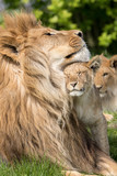 Father and Daughter, Lion and lioness cub together