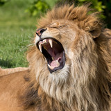 Male lion having a yawn - 87519838