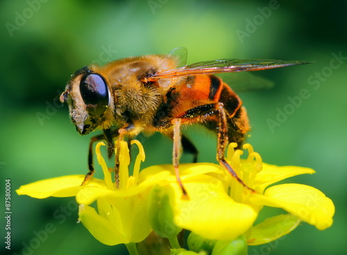 Photo bee collecting nectar on yellow flowers colza