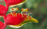 Two red-eyed tree frogs sitting on a heliconia flower