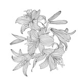 Engraving hand drawn illustration of flower lily