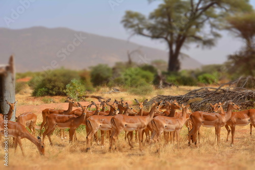 Antilope in Samburu Game Park