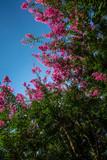 Rami fioriti della lagestroemia color rosa viola