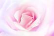 Vollkommenheit in Rosa...