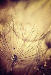 Dandelion flowers background