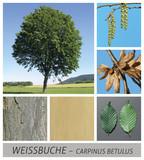 Weißbuche - 87734470