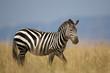 Zebra in the long grass