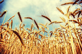 Golden wheat field at sunny summer day