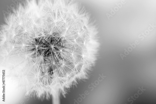 Beautiful dandelion with seeds, close-up - 87775652