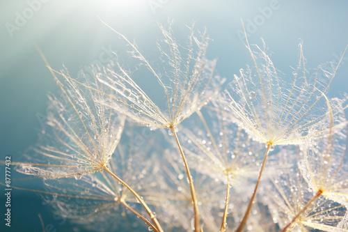Beautiful dandelion with seeds, macro view - 87777432
