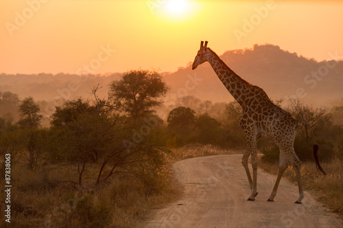 Poster Giraffe At Sunrise Kruger National Park
