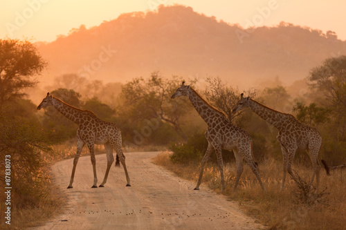 Giraffes At Sunrise Poster