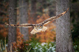 Fototapety Flying Eurasian Eagle Owl in colorfull winter forest