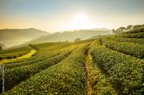 Poster Sunrise view of tea plantation landscape at 101 Chiang Rai Tea,N