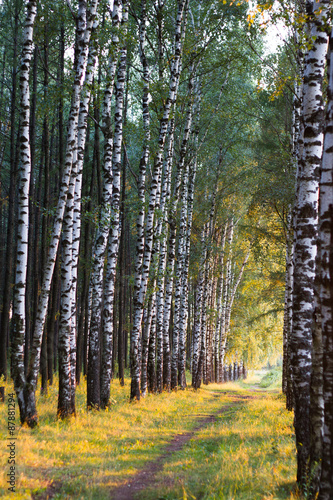 Russian birch alley natural background
