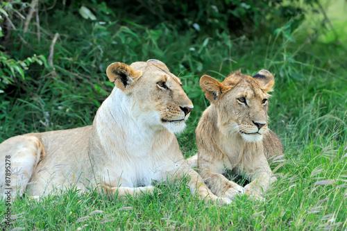 Fototapeta Lion in the grass of Masai Mara, Kenya