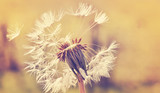 Fototapety Autumn dandelion close up