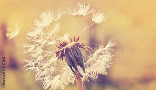 Zdjęcia na płótnie, fototapety na wymiar, obrazy na ścianę : Autumn dandelion close up