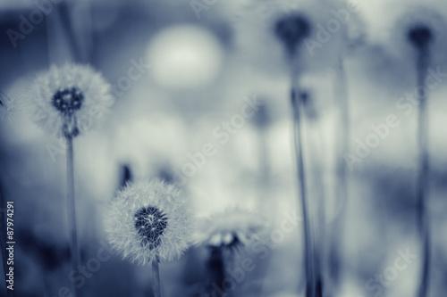 Dandelion flower - 87974291
