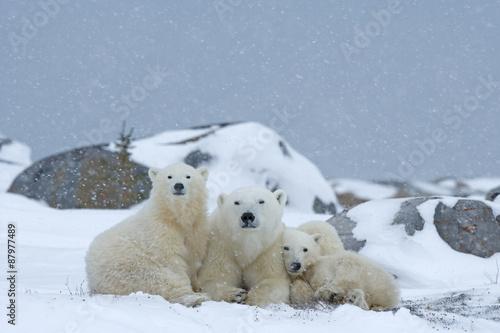 Fotobehang Ijsbeer Eisbärin mit Jungen