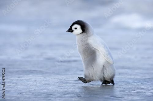 Plexiglas Pinguin Kaiserpinguinküken