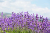 Fototapety Field with the blossoming lavender in the sunny summer day