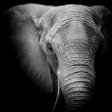 Elephant - 88040631