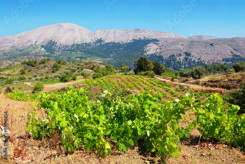 Vineyard. Rhodes island, Greece